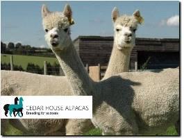 http://cedarhousealpacas.co.uk/alpacas-for-sale/ website